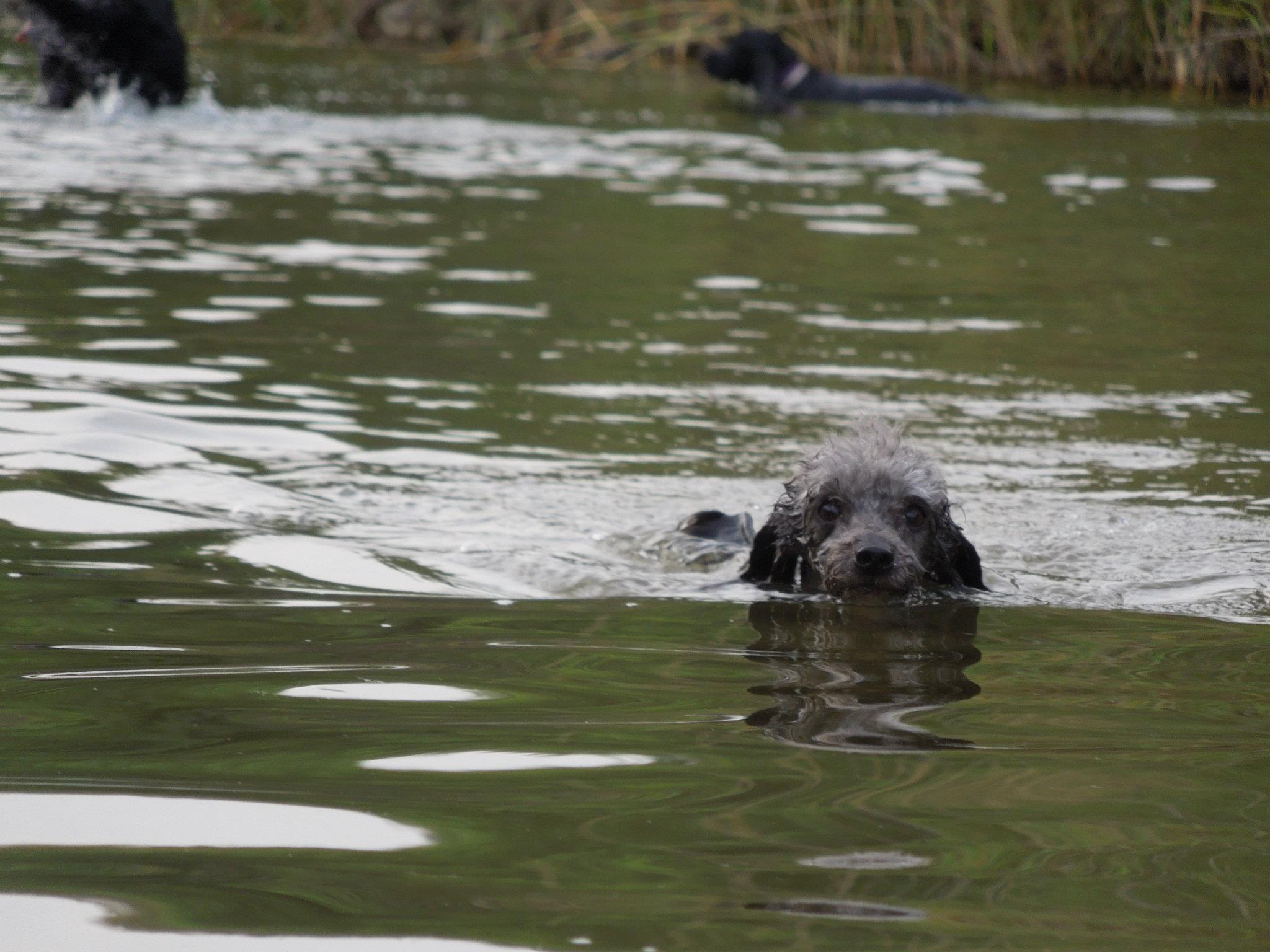 Pumu nadando en el río Guadalmansa (Estepona)