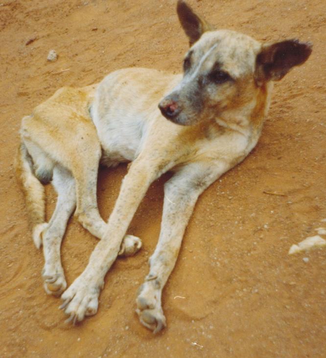 Perro afectado de leishmania