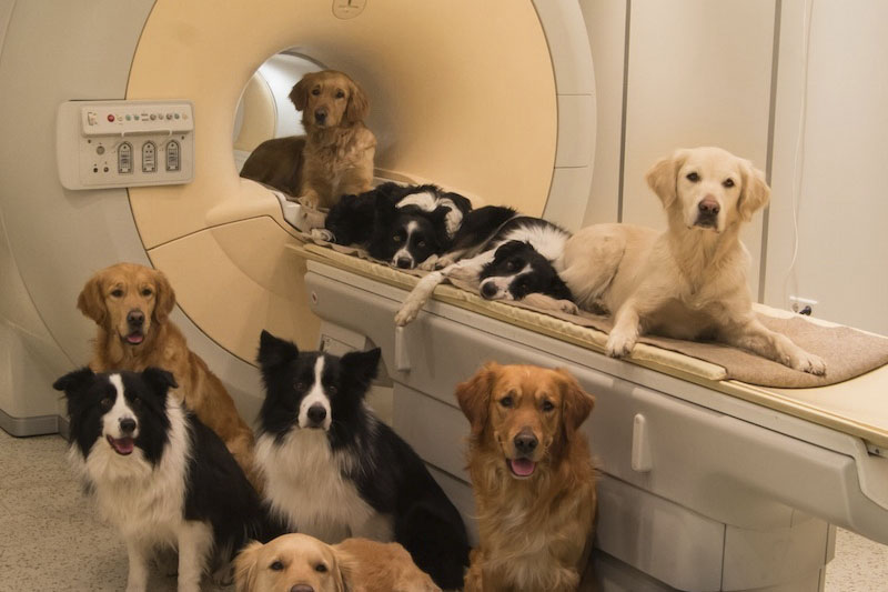Awake fMRI Reveals Brain Regions for Novel Word Detection in Dogs (Prichard et al. 2018)